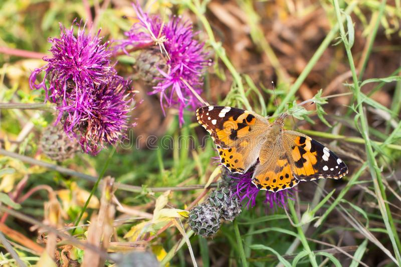 Painted lady butterfly sits on blooming purple thistle flower closeup top view, Vanessa cardui eating nectar on summer field stock photography