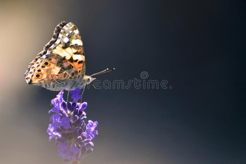 Painted Lady Butterfly Soft Focus Photograph. A profile of a painted lady butterfly with light shining through its wings on a lavender flower in Summer stock photography