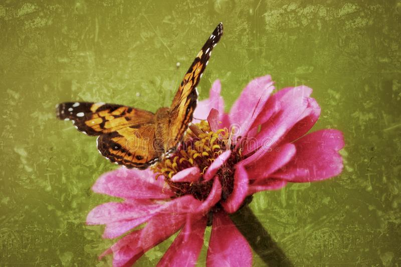 Painted Lady Butterfly lights on a zinnia in an antiqued photograph. stock photography