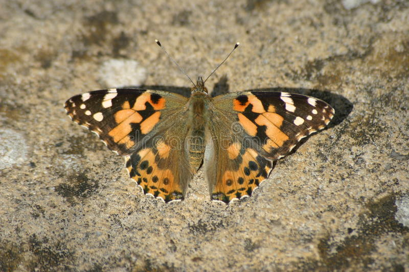 Painted lady butterfly. (Vanessa cardui) warming itself in evening sunlight on stone terrace with lichens royalty free stock photography