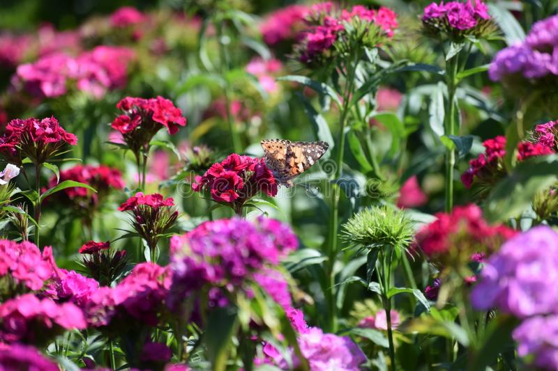 Painted lady Butterfly on sweet William royalty free stock photos