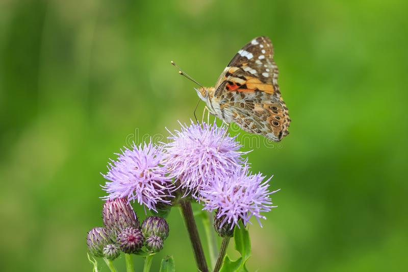 Painted Lady butterfly, vanessa cardu, feeding royalty free stock photos