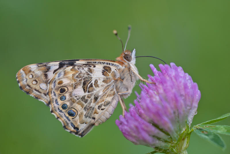 Painted lady butterfly Vanessa cardui stock image