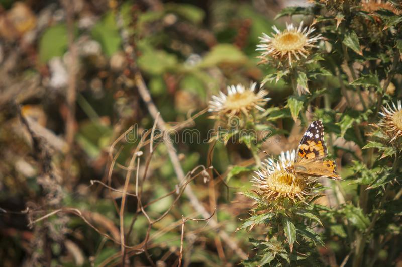Painted Lady Butterfly Feeding. The Painted Lady Butterfly, Vanessa cardui, feeding on a Carline Thistle, Carlina vulgarisms, Dungeness nature reserve, Kent royalty free stock image
