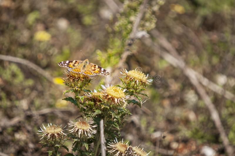 Painted Lady Butterfly Feeding. The Painted Lady Butterfly, Vanessa cardui, feeding on a Carline Thistle, Carlina vulgarisms, Dungeness nature reserve, Kent royalty free stock photography