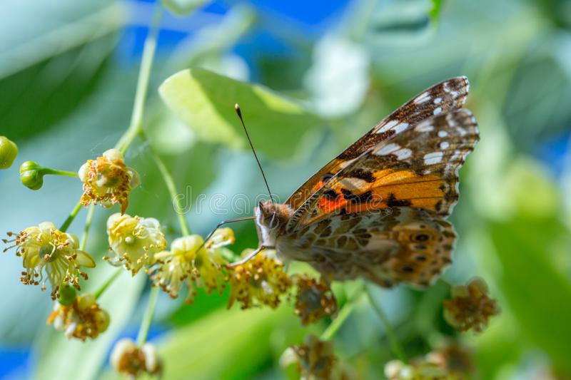 Painted Lady butterfly (Vanessa cardui) feeds on a nectar of flowers of Linden tree. Admiral, beautiful, black, blossom, bright, close-up, closeup royalty free stock photography