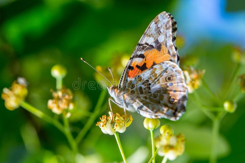 Painted Lady butterfly (Vanessa cardui) feeds on a nectar of flowers of Linden tree. Admiral, beautiful, black, blossom, bright, close-up, closeup stock photography
