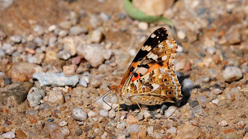 Painted Lady butterfly Vanessa cardui ventral side. Painted Lady butterfly Vanessa cardui showing ventral side pattern while feeding on ground minerals stock photo