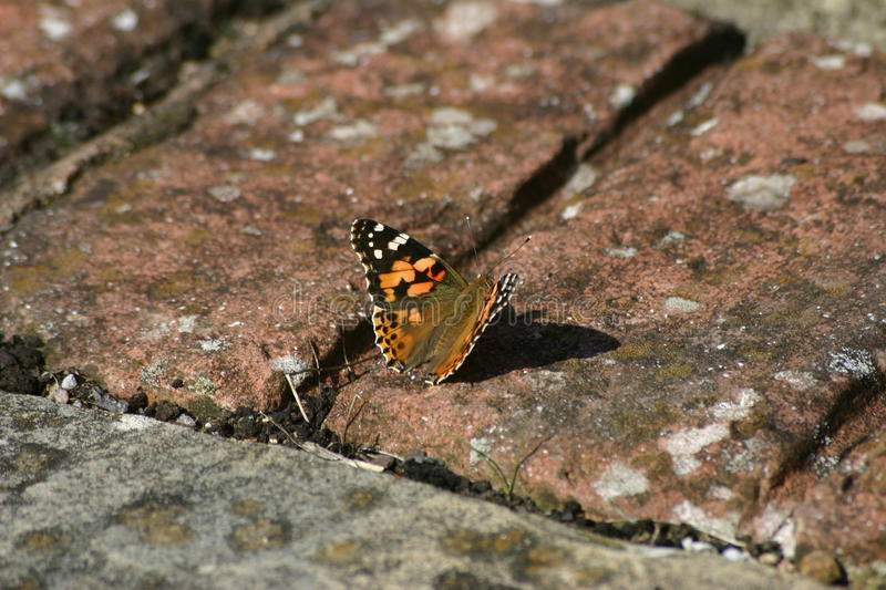 Painted lady butterfly. (Vanessa cardui) warming up in evening sunshine on bricks royalty free stock photo