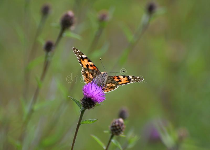 Painted lady butterfly Vanessa cardui  on a wild thistle flower. A painted lady butterfly in a wild flower meadow in the Uk in August stock image