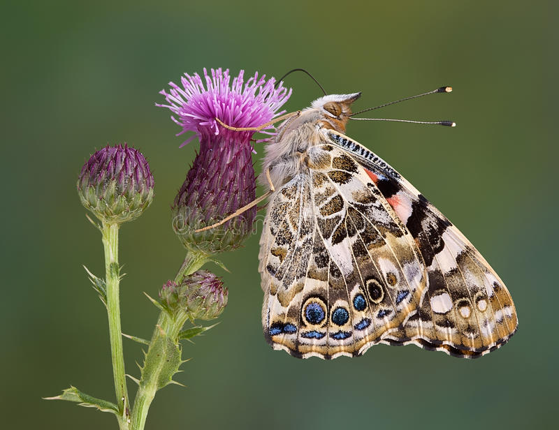 Painted Lady on Canadian Thistle. A painted lady butterfly is perched on a branch of a canadian thistle stock photo