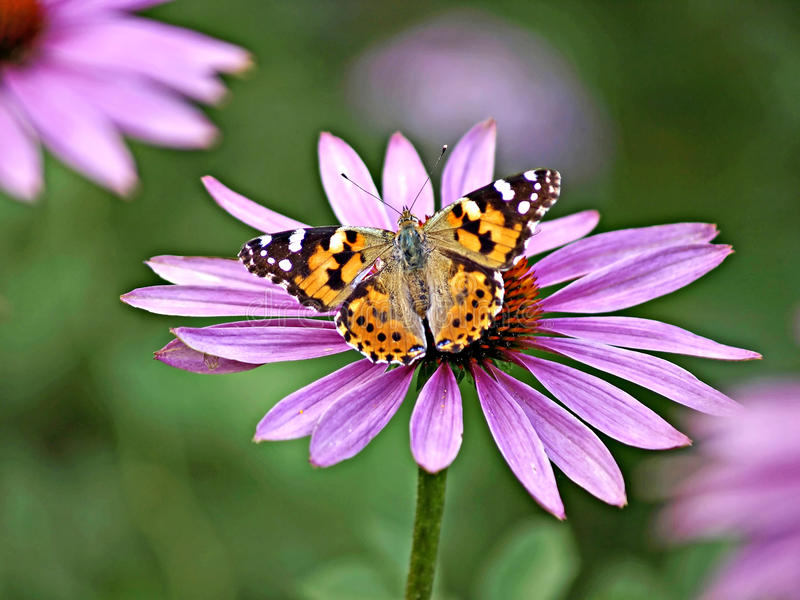 Painted lady, Cynthia cardui. Butterfly on a cone flower royalty free stock image