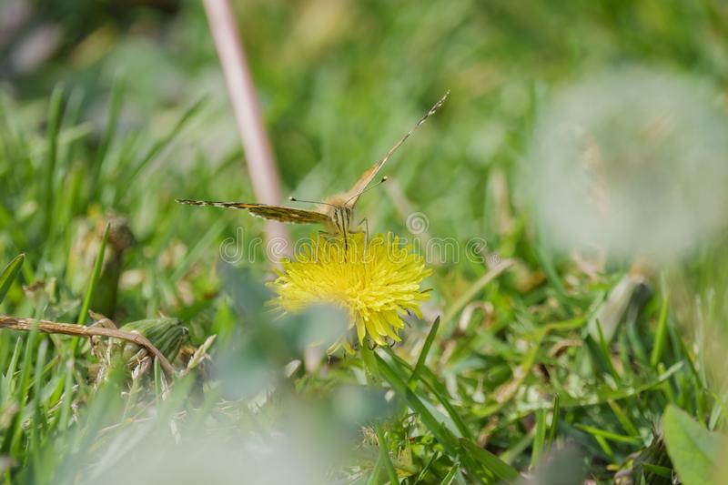 Painted lady eating in the Taraxacum royalty free stock photos
