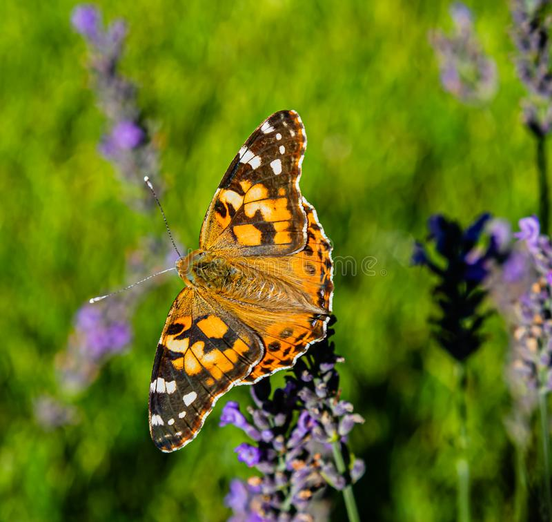 Painted lady on lavender russian sage royalty free stock photography