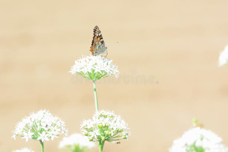 Painted lady. Absorbs floral nectar stock photos