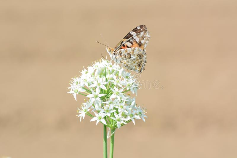 Painted lady. Absorbs floral nectar royalty free stock image