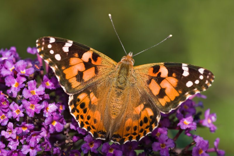 Painted Lady resting. In the sun on Budleya stock photography
