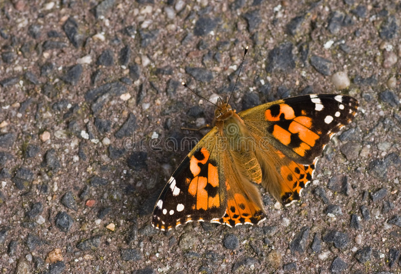 Painted Lady resting on stone. In the sun stock photo