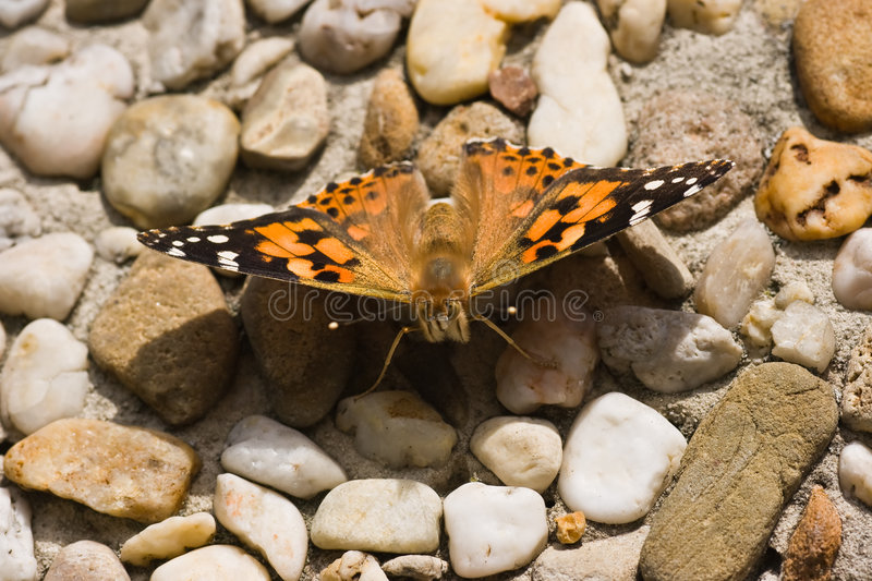 Painted Lady in the sun. Painted Lady warming up in the sunshine stock photography