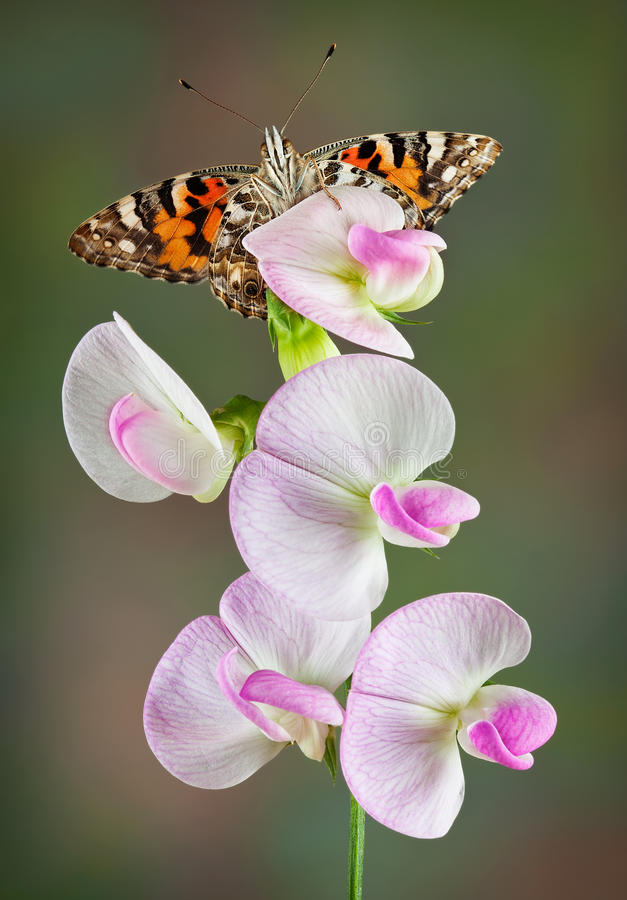 Painted Lady on Sweet Pea stock images