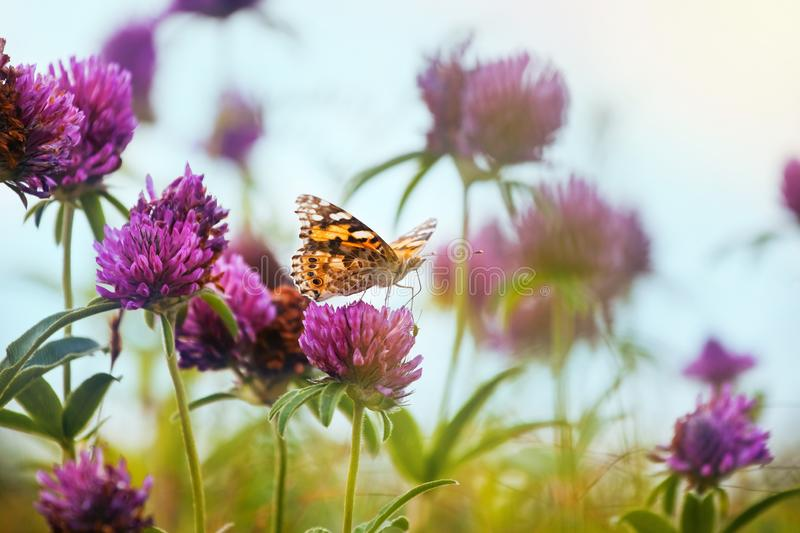 Painted lady Vanessa cardui butterfly drink nectar from a clover flower in a farm forb field, pastel colors of a shadowless sky royalty free stock photography