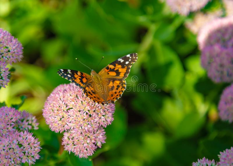 Painted lady Vanessa cardui butterfly with open wings perching on sedum stock photo