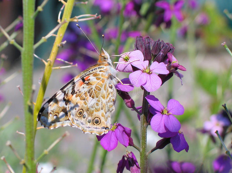 Painted Lady (Vanessa cardui). A Painted Lady butterfly (Vanessa cardui) showing the right-hand underside view of its wing, drinking nectar from an Erysimum stock photos