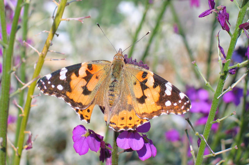 Painted Lady (Vanessa cardui). With a tear in its wing atop a Erysimum Linifolium Mauve flower stock images