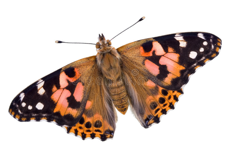 Painted Lady on white. A painted lady butterfly has its wings open on a white background royalty free stock images