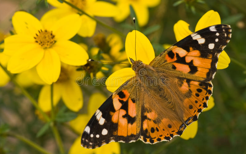 Download Painted Lady On Yellow Flowers In Summer Stock Image - Image: 11029485