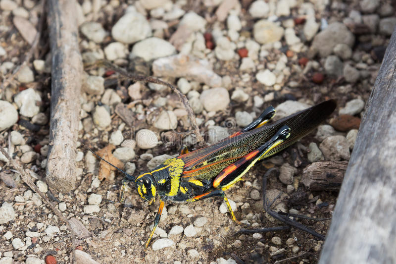 Painted locust sitting on some small pebbles. royalty free stock photos