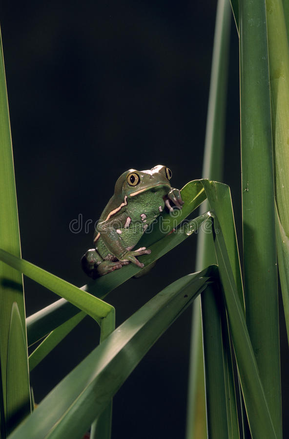 Download Painted monkey frog stock photo. Image of wildlife, green - 13230280