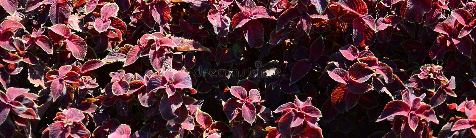 Painted nettle, decorative variegated leaves background. Red and green leaves of the coleus plant royalty free stock image