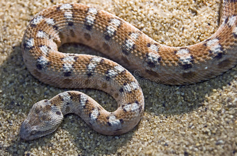 Painted saw-scaled viper 1 royalty free stock image