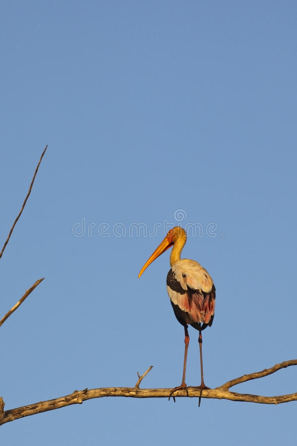 Download Painted stork stock image. Image of ornithology, tropical - 13248647
