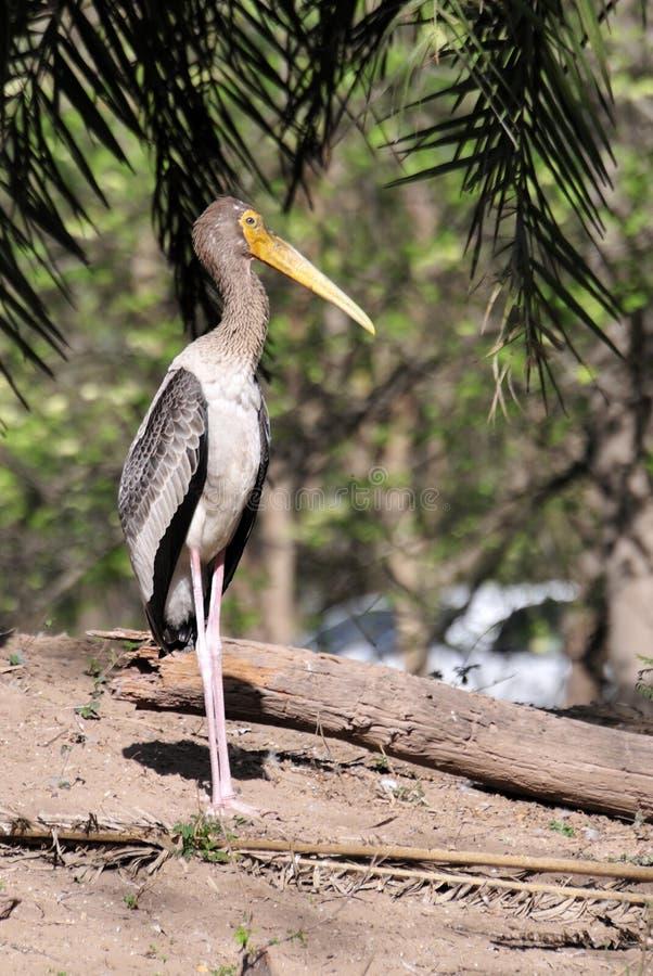 Download Painted stork stock photo. Image of animal, rajasthan - 13317702