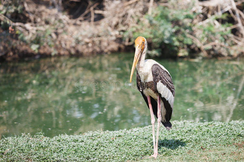 Download Painted stork stock image. Image of painted, malaysia - 25345513