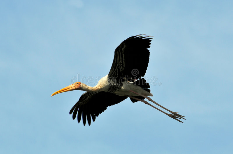 Download Painted stork stock image. Image of animal, birth, hatchling - 8555431