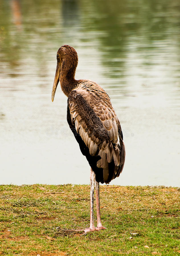 Download The Painted stork bird stock photo. Image of painted - 27750520
