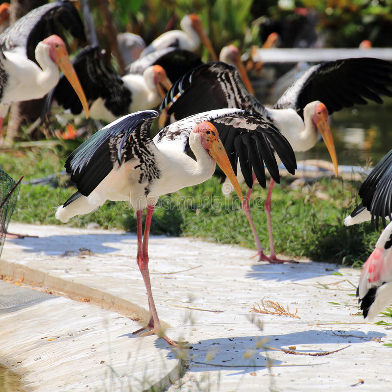 Painted Stork expand the wings. Painted Stork is standing and expand the wings royalty free stock photo