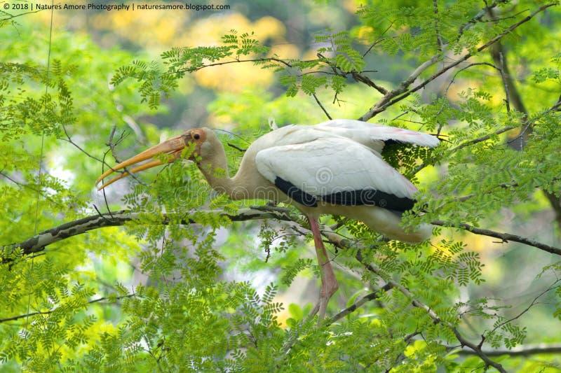 Painted Stork holding nest building material in beak stock photo