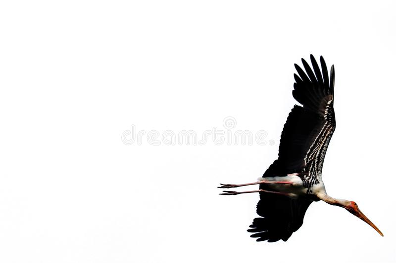Painted Stork isolated vector illustration
