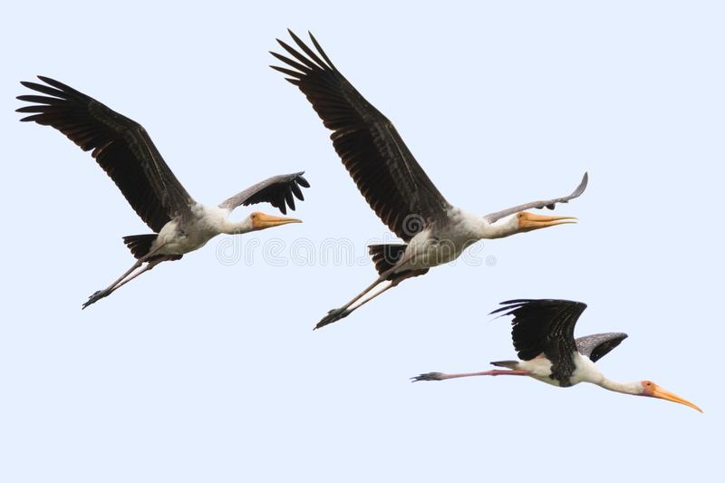 Painted stork large in flight, wader birds with yellow beak pink stock images