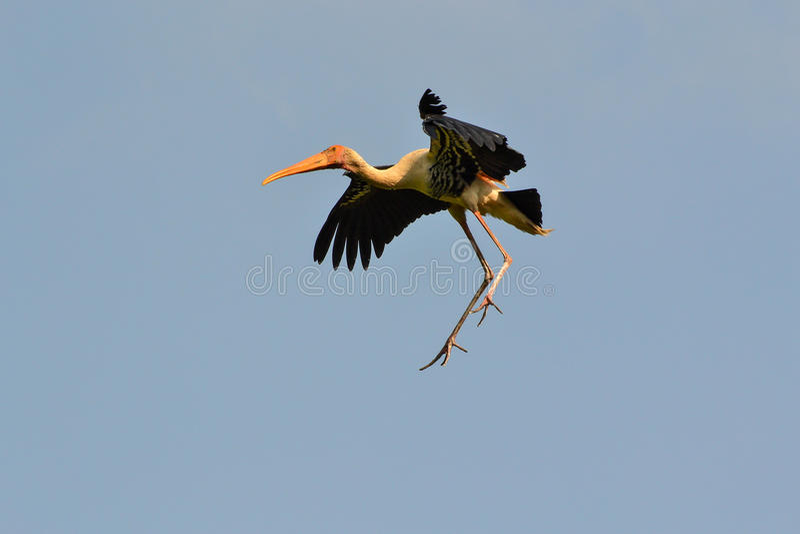 Download Painted Stork In Midair (Ibis Leucocephalus) Stock Image - Image of tourism, midair: 28184035