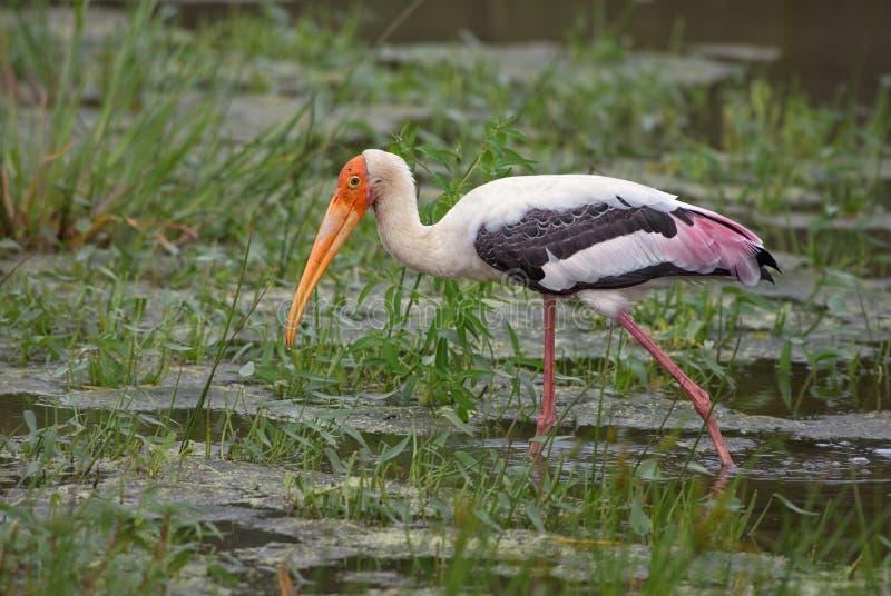 Painted Stork - Mycteria leucocephala stock image
