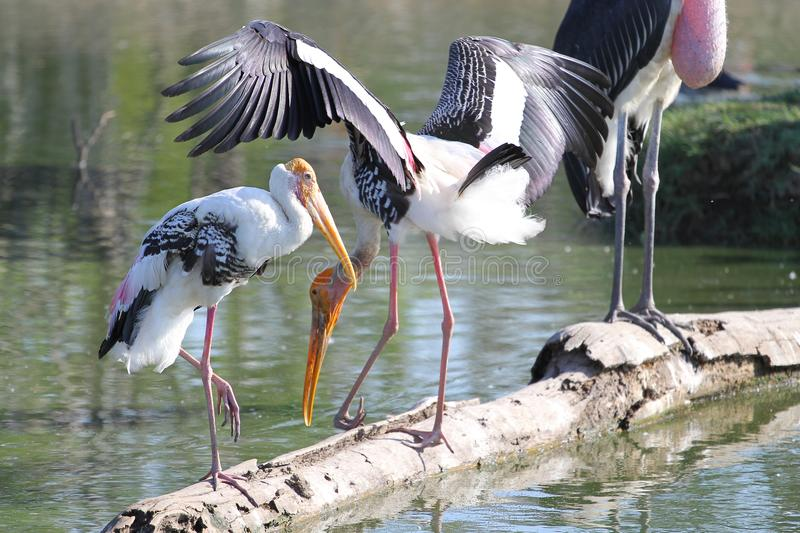 Painted Stork & x28;Mycteria leucocephala& x29; on river royalty free stock photos