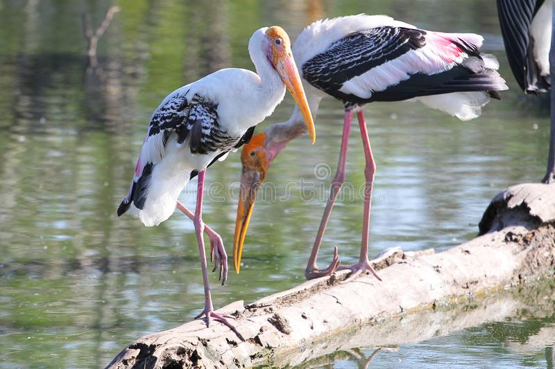 Painted Stork & x28;Mycteria leucocephala& x29; on river stock images