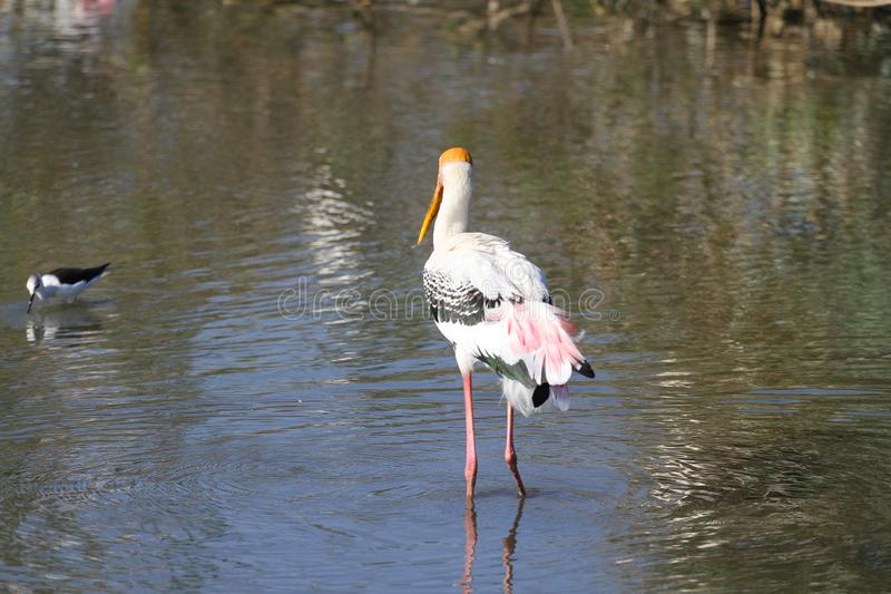 Painted Stork & x28;Mycteria leucocephala& x29; on river stock photo