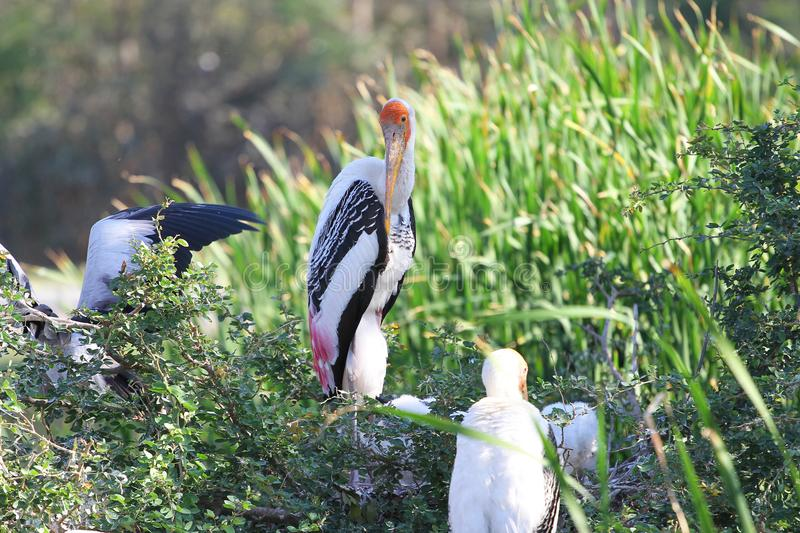 Painted Stork & x28;Mycteria leucocephala& x29; on tree royalty free stock photos
