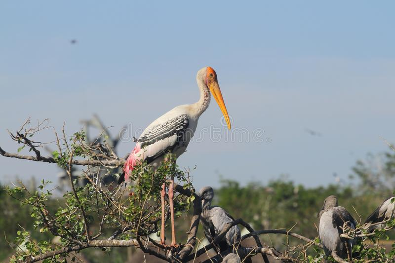 Painted Stork & x28;Mycteria leucocephala& x29; on tree royalty free stock photography